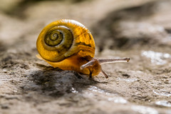 Take the long way home (uw67) Tags: snail schnecke schnecken
