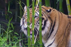 Who can spot the hidden tiger? (ucumari photography) Tags: sc animal mammal south tiger columbia carolina april siberian amur riverbankszoo 2015 dsc1001 specanimal ucumariphotography