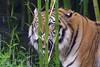 Who can spot the hidden tiger? (ucumari photography) Tags: sc animal mammal south tiger columbia carolina april siberian amur riverbankszoo 2015 dsc1001 specanimal ucumariphotography