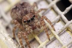 House Jumper (Doundounba) Tags: macro topf25 spider eyes montral pentax extreme qubec araigne k3 villeray salticidae poormansmacro pentaxa50mmf17 salticide pentaxm200mmf4 sitticusfasciger coupledreverselens