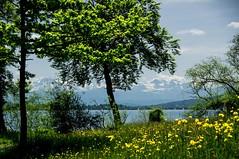 Hallwilersee / Schweiz (Swiss_PIX) Tags: summer mountain lake mountains alps tree nature water berg schweiz switzerland see spring wasser sommer natur meadow wiese luzern berge alpen lucerne aargau baum frhling aesch mosen myswitzerland hallwil argovia birrwil boniswil lakehallwil beinwilamsee lakeofhallwil