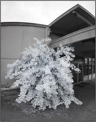 Unkempt Bush (NoJuan) Tags: olympus fisheye infrared digitalinfrared fullframefisheye infraredconversion micro43 microfourthirds 9mmfisheyebodycaplens 9mmbcl micro43infrared