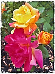 Varigated and Vibrant (MissyPenny) Tags: pink roses usa flower yellow garden flora pennsylvania rosebush josephscoat floribunda commonwealthpa pdlaich