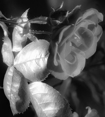 Rose Zoom in Black and White