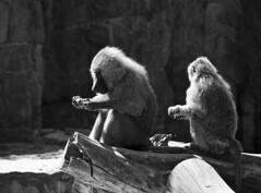Baboons (albireo 2006) Tags: blackandwhite bw hair blackwhite eating poland polska pb nb bn monkeys wroclaw baboons wrocaw blackandwhitephotos blackwhitephotos wrocawzoo