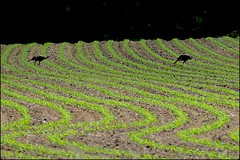 newly planted field (Ken Mattison) Tags: color green nature birds wisconsin rural spring colours farms turkeys wi glacialdrumlintrail lakemills panasoniclumix fz1000