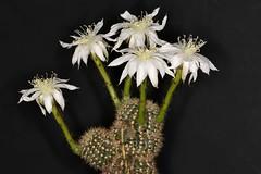Echinopsis sp. (Pterodactylus69) Tags: cactus flower fleur argentina flor cactaceae blte kaktus echinopsis argentinien lobivia