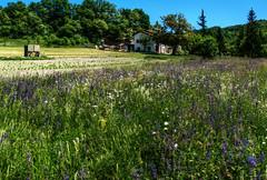 Italian Meadow (Elliott Bignell) Tags: italien flowers italy spring italia liguria meadow wiese blumen cana della italie cian ligure pian ligurien canepa piandellacanepa ciandellacana