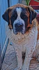 badu. (patricio_villegas) Tags: dog white san sony ale alpha bernardo instachile