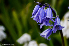 Bells of Blue (crezzy1976) Tags: flower nature bluebells outdoors nikon d3100 crezzy1976 photographybyneilcresswell