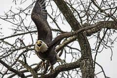 Take off..... (Kevin Povenz Thanks for all the views and comments) Tags: bird nature wings eagle michigan wildlife ottawa flight baldeagle liftoff april birdsofprey 2016 westmichigan grn ottawacounty sigma150500 canon7dmarkii kevinpovenz ottawacountyparks grandravinesnorth