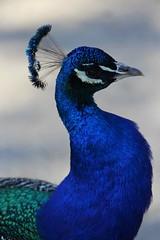 Blue (jmaxtours) Tags: blue toronto bird island islands farm centre peacock centreisland torontoislands farenoughfarm