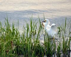 Cliffwood Beach New Jersey (Robert Scifo) Tags: ocean summer birds newjersey nikon wildlife south watching shore jersey prey egret ornithology cliffwood
