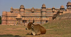 INDIEN, Fort Gwalior and a holy cow in front, serie, 13622/6586 (roba66 (Thx for 20 Mill. views)) Tags: city travel urban india building castle history tourism monument arquitetura architecture kuh cow rind reisen asia asien cityscape arch platz urlaub capital kultur arc culture places visit palace historic explore stadt architektur historical tradition schloss turm gwalior indien bau castillo palast faade burg castelli fassade inde historie voyages geschichte festung citadelle zitadelle fortess kastell northernindia kulturdenkmal torresdedefensa roba66 indiennord indienfortgwalior