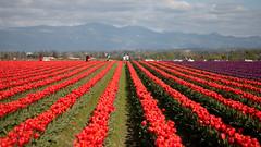 Tulip Fest (12 of 26) (evan.chakroff) Tags: flowers festival washington spring unitedstates tulips tulip april mountvernon tulipfestival mtvernon roozengaarde 2016
