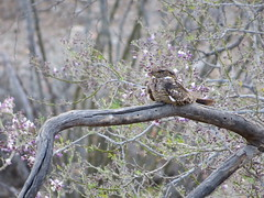 May in the Sonoran (Az~Kate) Tags: arizona bird beauty desert may elusive sonoran lessernighthawk