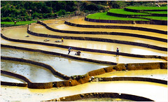 Mu Cang Chai - Vietnam (Le Hong Ha) Tags: travel people colour reflection green nature water beautiful nice nikon rice curves north working vietnam fields famer yellew