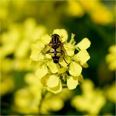 summer feelings....... (atsjebosma) Tags: summer flower june yellow juni bokeh ngc thenetherlands npc zomer friesland harlingen bloem koolzaad zweefvlieg atsjebosma