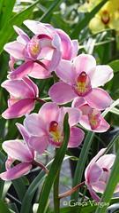 o r c h i d ( Graa Vargas ) Tags: pink orchid flower flor explore orquidea 449 graavargas cymbidiumxhybridum cimbdio 2016graavargasallrightsreserved may102016 5908136290616