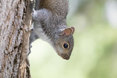 Baby gray squirrel (Laura Erickson) Tags: minnesota animals places mammals rodents duluth graysquirrel stlouiscounty babysquirrel peabodystreet