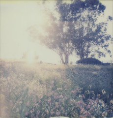 Wild Radish Meadow 1 (H Polley) Tags: sanfrancisco flowers trees sunlight painterly color landscape polaroid sx70 soft glow pastel hill meadow 600 lensflare flare impressionistic backlighting impossible wildradish instantfilm impossibleproject tipshow snapitseeit instantpryme gen30