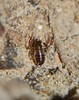 Eating morning meal P1020149 (Steve & Alison1) Tags: beach rainforest shiny long floor scorpion false airlie bodied pseudoscorpionida