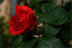 rose d'un jour de pluie (JJ_REY) Tags: flowers red rose fleurs garden rouge nikon jardin pluie d700