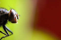 (fra_tsn) Tags: red macro verde green eye insect fly eyes insects occhi rosso occhio mosca insetto insetti