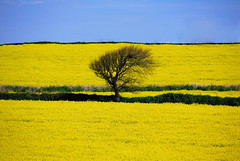Standing out (images@twiston) Tags: blue sky cloud tree yellow clouds landscape gold countryside cornwall farm country farming seed crop oil lone agriculture canola rapeseed standingout
