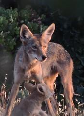 Prince George and Son2 (FluffyPuppiesMosaics) Tags: ca dogs wildlife redding turtlebay coyotes sundialbridge coyotepups tracihallstrom pupsplaying coyotepack fluffypuppiesmosaics riverknolls riverknollscondos