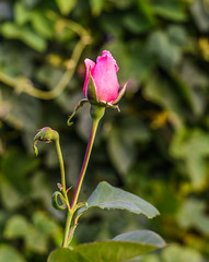 it's coming up (pbo31) Tags: california pink flower color macro green nature northerncalifornia june rose garden season spring flora nikon grow bayarea bloom eastbay livermore pleasanton alamedacounty 2016 boury pbo31 d810