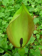 Aronstab-Blte (Jrg Paul Kaspari) Tags: flower fleur spring arum blte frhling spadix maculatum arummaculatum spatha kolben aronstab wiltingen gefleckter gefleckte hochblatt pawelsbach