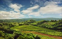 Summer vineyards (Katarina 2353) Tags: summer panorama landscape serbia x vineyards brestovik serbiainspired