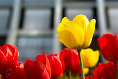 Rate of Return (Andy Marfia) Tags: flowers chicago abstract 35mm iso100 spring tulips loop f28 chasetower 11250sec d7100