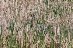 Great Blue Heron tries to camouflage itself