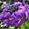 Purple Primula