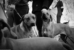 Rhodesian Ridgeback (Marco San Martin) Tags: blackandwhite blancoynegro dogs perro perros rhodesianridgeback perrito raza sudafrica marcosanmartin