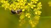 Early Mining Bee - Andrena haemorrhoa (markhortonphotography) Tags: andrenahaemorrhoa earlyminingbee trachandrena bee flower insect loseleyhouse loseleypark macro surrey walledgarden yellow isatistinctoria woad