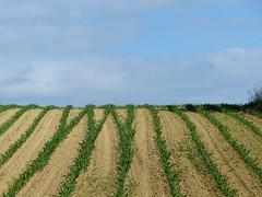Cagnotte, Landes: Y Y Y / W V (Marie-Hélène Cingal) Tags: france 40 landes sudouest aquitaine maïs cagnotte paysdorthe