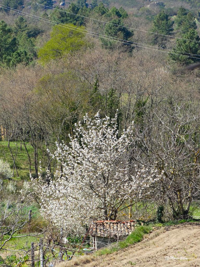 Águas Frias (Chaves) - ... a árvore de flor branca ...