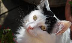 Felix the cat ... (patricia.bardon) Tags: cats animals pentax ricoh patriciabardon pentaxk3