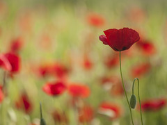 Le soleil pour compagnon **--- --° (Titole) Tags: flowers red naturallight poppy poppies winner bud showdown shallowdof coquelicots unanimous challengeyouwinner thechallengefactory cyunanimous titole nicolefaton