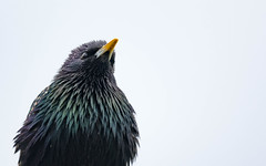 Starling Portrait (abritinquint Natural Photography) Tags: wild bird nature water river germany star nikon natural wildlife starling 300mm telephoto nikkor luxembourg f4 vogel pf trier mosel tc14eii 300mmf4 teleconvertor d7200 pfedvr