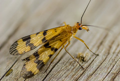 ScorpionFly (advertisingwv) Tags: west macro bug insect virginia fly joshua sony josh scorpion wv alpha a77 shackleford scorpionfly beckley advertisingwv