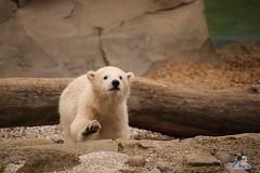Eisbr Lilli im Zoo Bremerhaven 30.04.2016 Teil 2  18 (Fruehlingsstern) Tags: sunset sonnenuntergang polarbear lloyd lili bremerhaven zooammeer valeska eisbr canoneos750 tamron16300