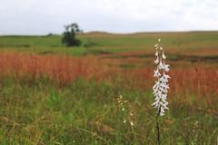 Tallgrass Wildflower Bokeh (RPahre) Tags: bokeh kansas prairie wildflower delphinium tallgrass tallgrassprairie hbw tallgrassprairienationalpreserve plainslarkspur