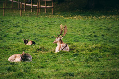 lazy deer (Jules Marco) Tags: wild nature animal canon tiere outdoor natur deer lazy animalplanet reh tier faul drove herde eos600d tamron18270mmf3563diiivcpzd