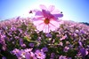 _Q9R6302 (Dream Deliver) Tags: flowers cosmos bipinnatus saariysqualitypictures