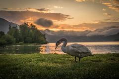 Swan Lake Sunset *Explored* (Robert Bauernhansl) Tags: trees sunset orange cloud mountain lake mountains green water berg grass animal clouds reflections austria see sterreich swan wasser sonnenuntergang lawn wiese wolke wolken berge schwan bume wolfgangsee salzkammergut lakewolfgangsee