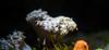 Coral (Atrum Lupus) Tags: coral aquarium australia melbourne sealife victoria invertebrate australie melbourneaquarium cnidaria anthozoa corail invertébré